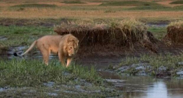 Lev děkuje svému příteli, který ho zachránil před 20 hyenami