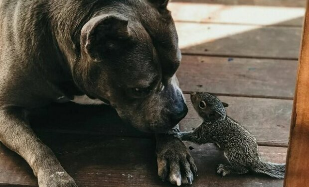 Dokáže se spřátelit bojový pitbul s osiřelou veverkou? Podívejte se sami