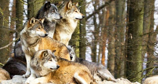 Vlci během bouře zachránili těhotnou ženu