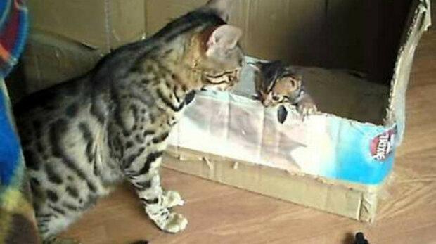 Konverzace mezi bengálskou kočkou a kotětem