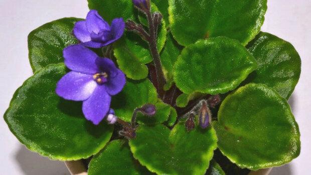 3 Vážné chyby, které zabraňují rozkvětu fialek. Všichni pěstitelé by o nich měli vědět