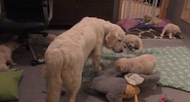 Pes během několika vteřin uklidnil sedm štěňat a překvapil tím sociální sítě. Video