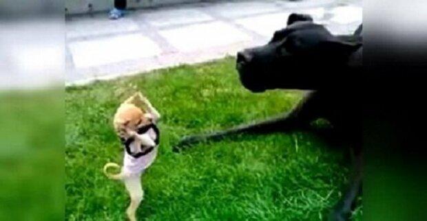 """Malá čivava """"zaútočila"""" na velkého psa. Bitva byla poněkud nevyrovnaná"""