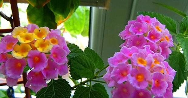 Lžíce ricinového oleje pro domácí květiny a můžete je dát do prodeje. Nejlepší recept na krmení květin