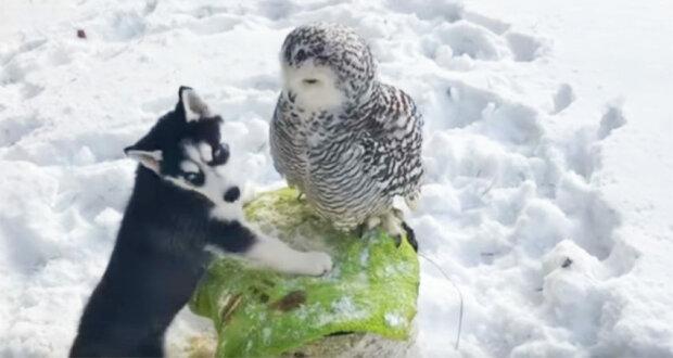 Štěně huskyho přistoupilo k polární sově. To, co se stalo potom, je neuvěřitelné