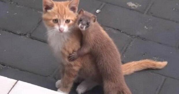 Internet dobylo úžasné přátelství mezi kotětem a lasičkou. Video