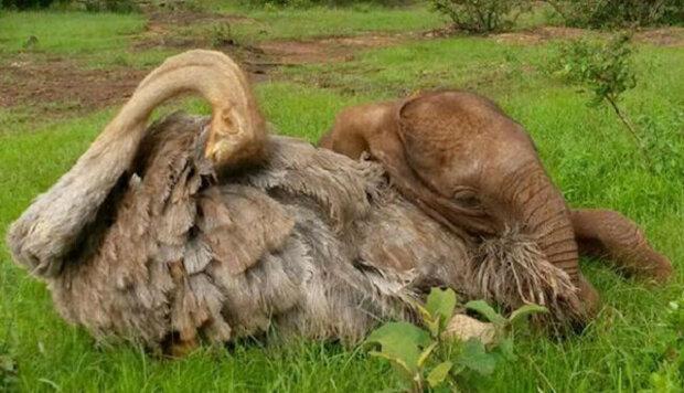 Osiřelé slůně, které přišlo o rodinu, objímá každý den pštrosa