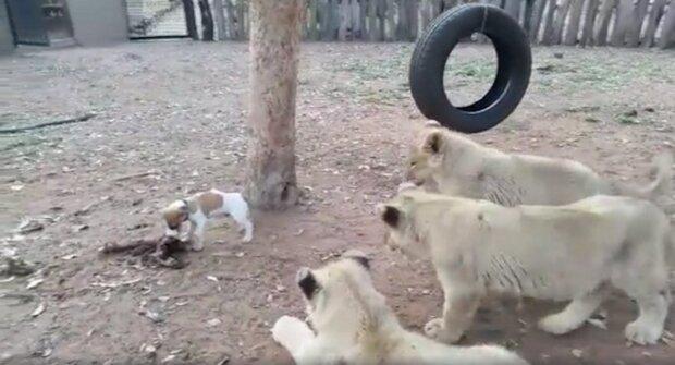 Malé štěně statečně zahání lvice jídlem. Vtipné video
