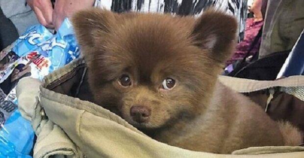 Ukázalo se, že štěně miniaturního špice je velké a podobné medvídkovi. Neobvyklé zvíře bylo jednoduše odhozeno
