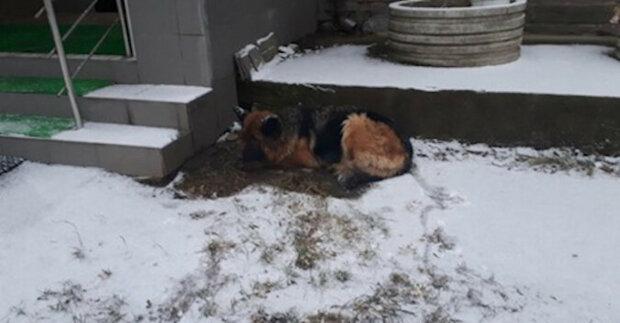 Pastevecký pes Nika nebyl léčen na klinice kvůli nedostatku peněz, ale nyní je oblíbencem rodiny