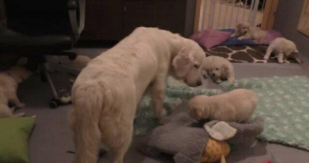 Pes během několika vteřin zklidnil sedm příliš aktivních štěňat a všechny překvapil. Video