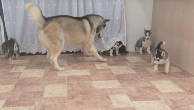 Otec husky je velmi nadšený když vidí svoje štěňata. Podívejte se na jeho reakci