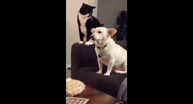 Udeřit či neudeřit: kočka dlouho přemýšlela, zda psa udeřit - vtipné video