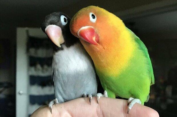Světlý papoušek a jeho neobvyklá přítelkyně se stali rodiči. Ukázalo se, že mláďata byly hezčí než jejich rodiče