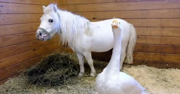 Neoddělitelní kamarádi poník a husa utíkají před násilím a najdou svůj vysněný domov