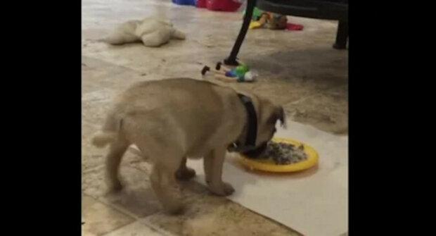 Hladové štěně nedokázalo uklidnit své emoce při pohledu na misku s jídlem - úžasné video