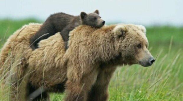 Medvědice bojovala s vlky, aby zachránila své děti. Video