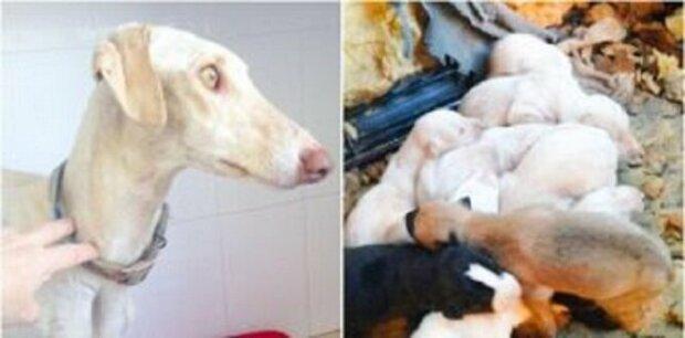 Výkon matky: zraněný pes ušel 3 km, aby zachránil svá štěňata