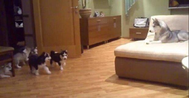 Do pokoje vbíhají štěnata husky. Podívejte se, jak je zabaví jejich máma