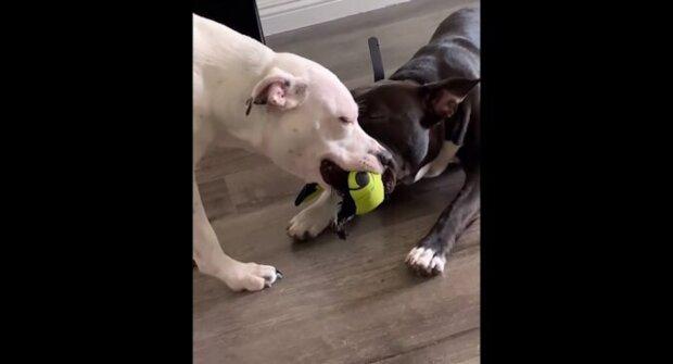 Dva psi se přetahovali o hračku, až s ní usnuli v zubech. Vtipné video