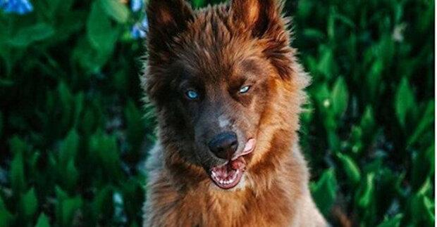 Kuoi je nejkrásnější husky štěně na světě
