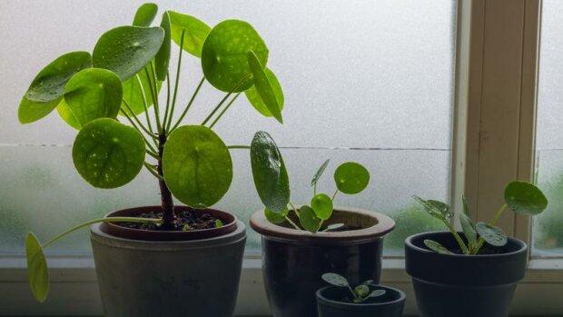 Tahle rostlina trhá rekordy oblíbenosti. Všechny jsou jednoho druhu