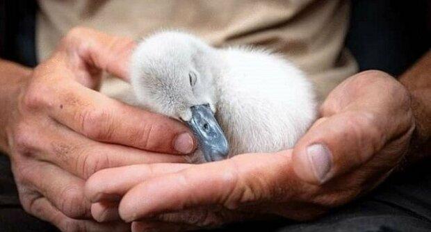 Krotká labuť se vrátila k muži, který ji vychoval, protože se jí stýskalo