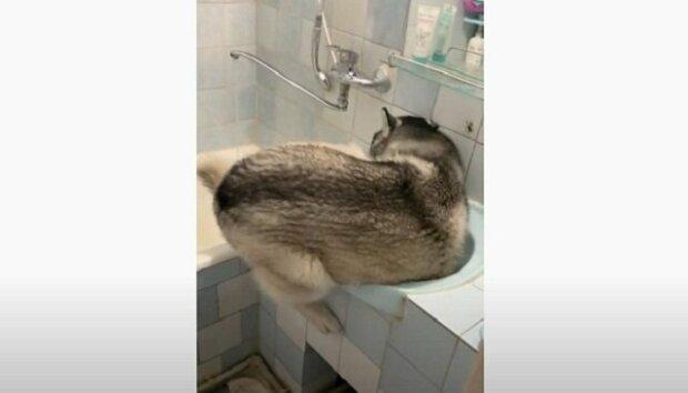 Dospělý husky zkusil, jestli se dokáže umýt v umyvadle, přičemž ale zapomněl na to, že již není štěně