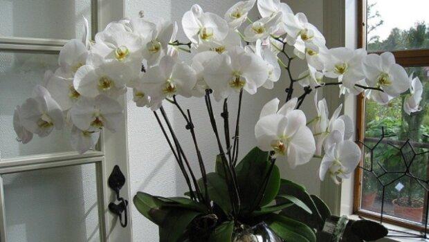 Ode dneška se budete moct kochat krásnými květy každý den. Domácí hnojivo pro orchideje