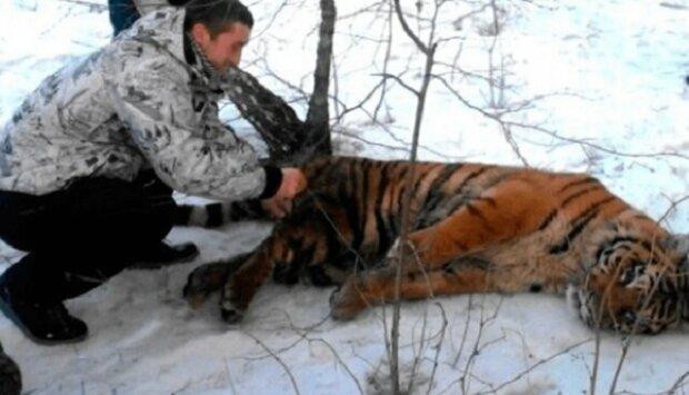 K lidem přišel tygr se smyčkou kolem krku žádajíc o pomoc