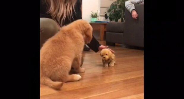 Zlatý retrívr žárlil na štěně svého majitele. Video