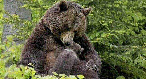 Medvědí matka přesunula své medvídě k dívce, aby vytáhla třísku z jeho tlapky