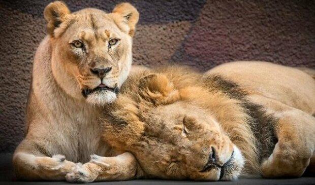 """Láska jednou provždy: lidé pomáhali staršímu páru lvů překonat """"duhu"""" společně"""