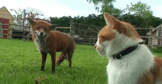 Dvě lišky byly zachráněny z lovu na cizím dvoře, pak se spřátelily s majitelem