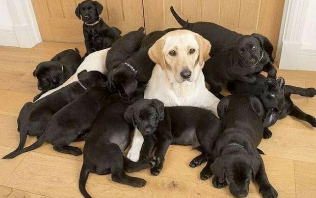 Zlatá labradoří máma porodila 13 černých štěňat. Ukázalo se, že na vině byl otec