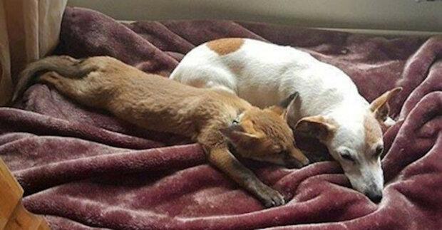 Dívka zachránila potomky lišky a jedno zvíře si nechala pro sebe. A její psi provedli výcvik