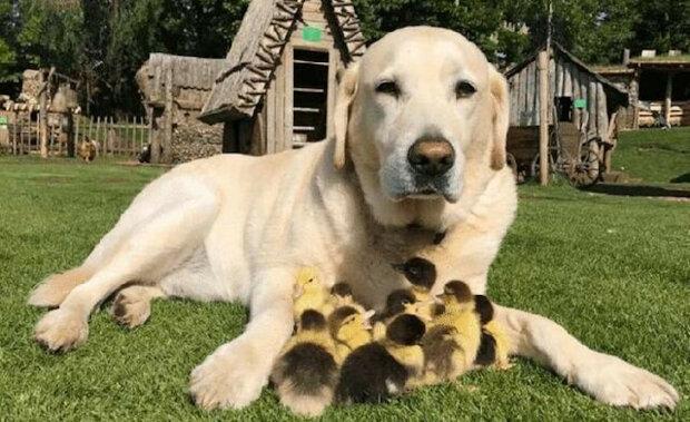 Liška unesla jejich matku. Kachňata však adoptoval labrador, který se nyní považuje za jejich otce a dokonce je učí plavat