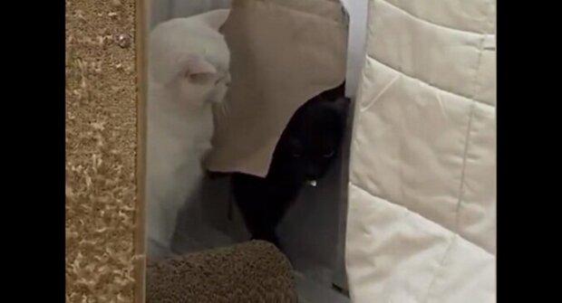 Pozdní kočka se snažila tiše vstoupit do domu, ale narazila na čekající kočku. Video