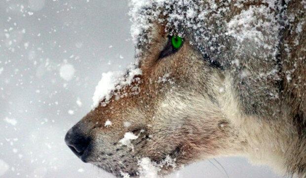 Vlčí vytí mu nedalo spát. Herman vzal kousky zmrazeného masa a šel nakrmit vlky