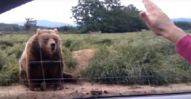 Žena zamávala z auta medvědovi, podívejte se na jeho nečekanou reakci