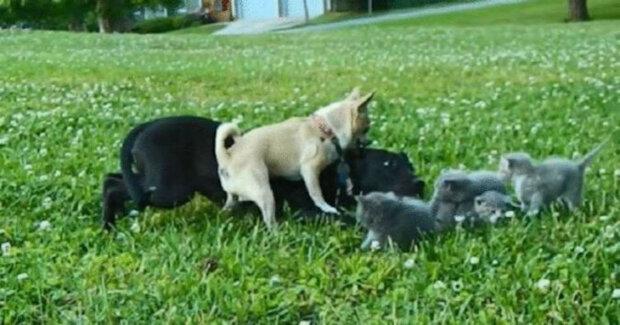 Malá čivava jménem Charlie zachránila koťata před velkým psem