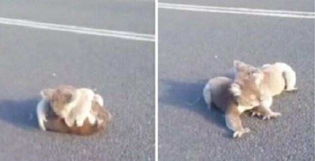 Dívka se zázračně podařilo zachránit koaly hrající si uprostřed silnice