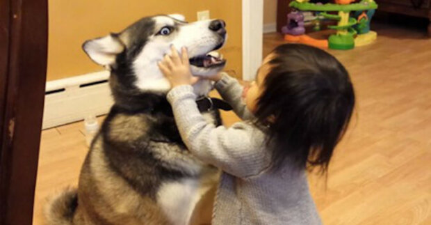 Reakce huskyho na polibky dítěte rozesmála celý internet. Video
