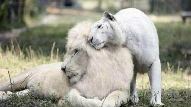 Bílý lev a tygřice přivedli na svět neuvěřitelně krásné potomky
