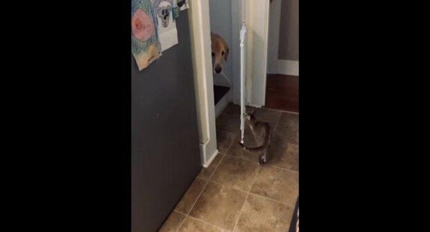 Opravdový gentleman: kočka si podmanila web svou starostí o psa. Video