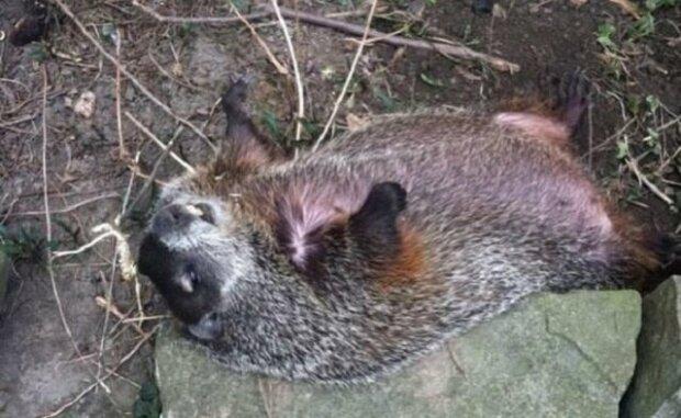 Slepá samice sviště ležela ve dvoře 3 dny a nyní spí se svým spasitelem v posteli