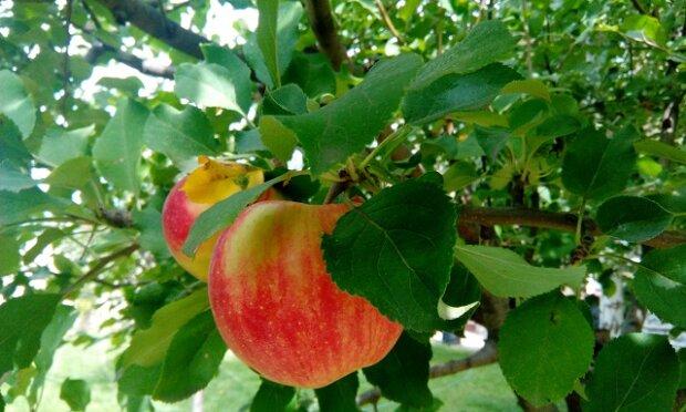 Co se stane s vaším tělem, když budete jíst každý den jedno jablko?