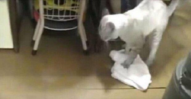 Toto video dobylo internet: Kočka vytírá podlahu a vysmívá se nedbalému majiteli