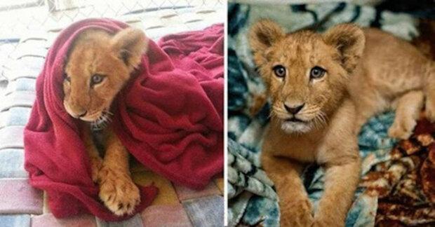 Zachráněné lvíče nemůže spát bez deky, i když už je velké