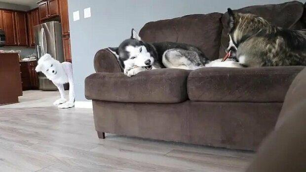 Majitel si chtěl udělat legraci ze svých psů Husky tím, že se převlékl do kostýmu vlka. Podívejte se na toto zábavné video